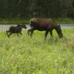 Mama Moose and calf